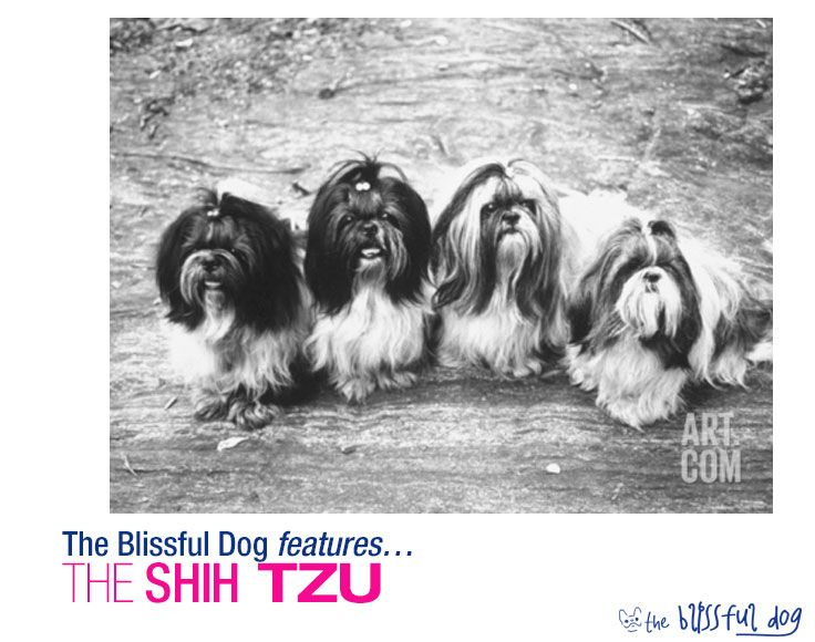 The Early Shih Tzu After The Communist Revolution Dogs Were