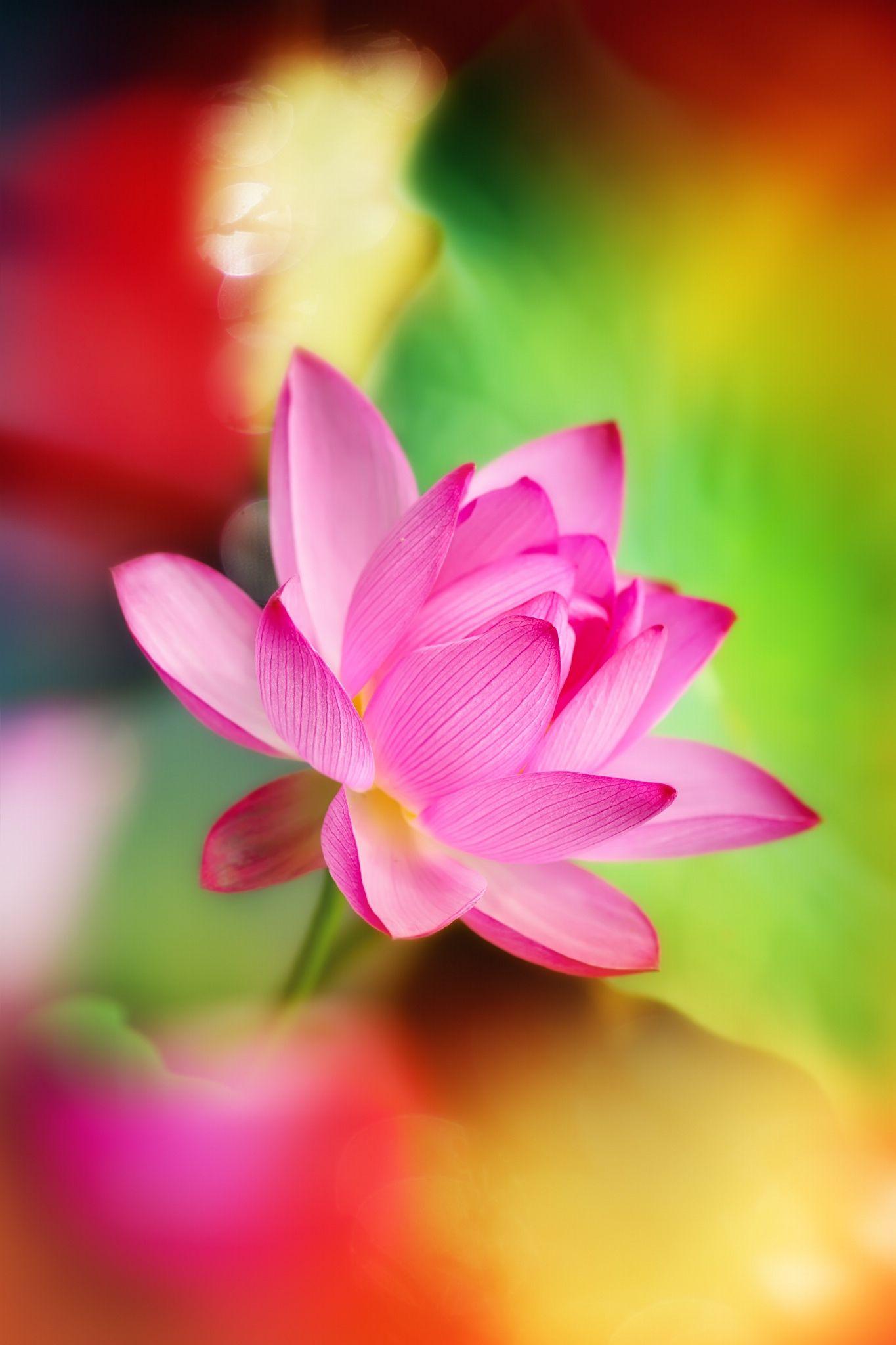 Lotus Flower By Fuyi Chen On 500px Hoa Sen Pinterest