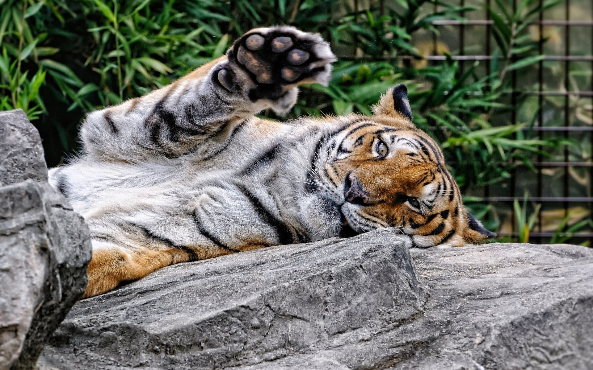 1920x1200 desktop background - tiger   hueputalo   pinterest