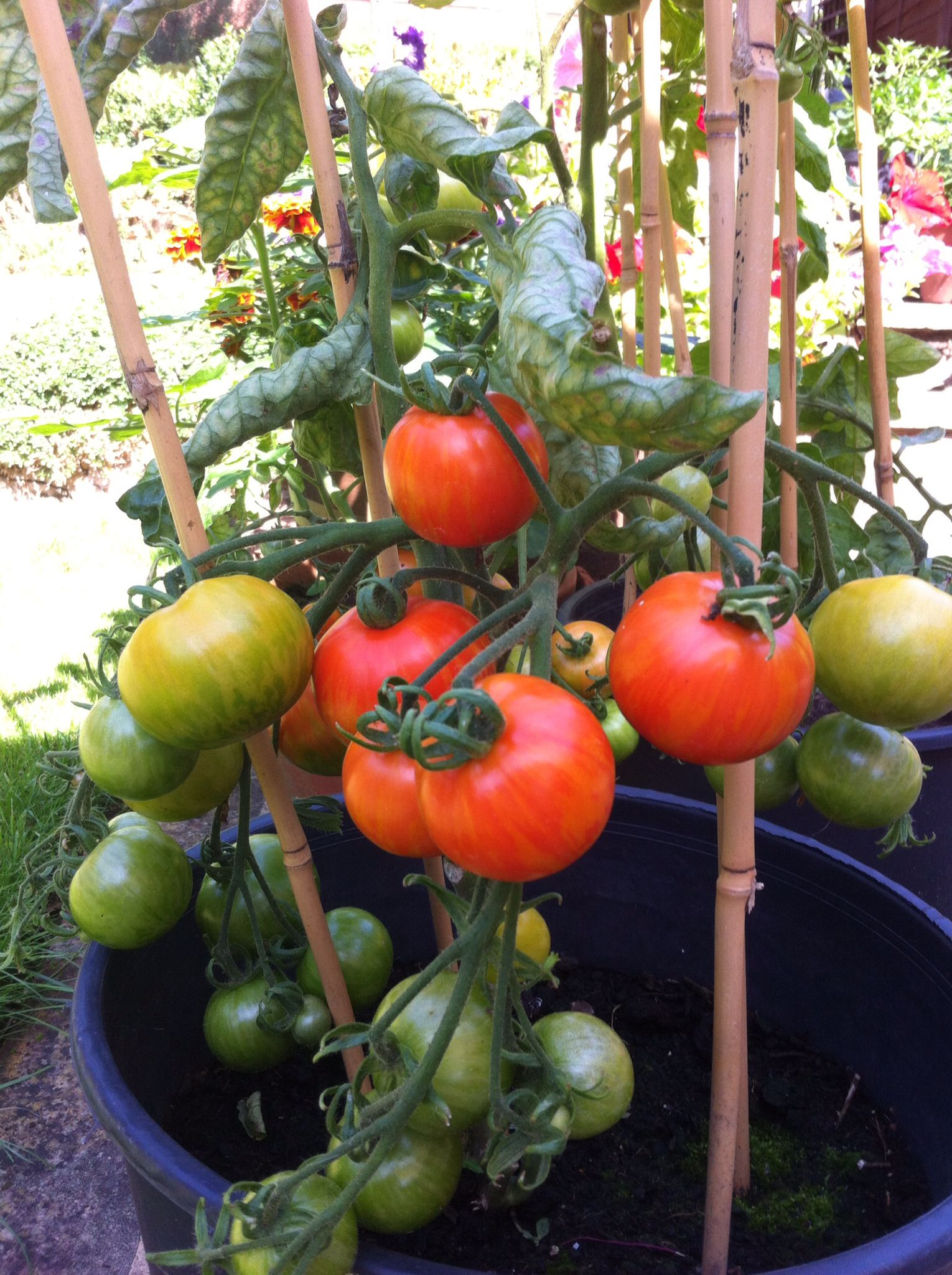 Tomatoes -August 2015