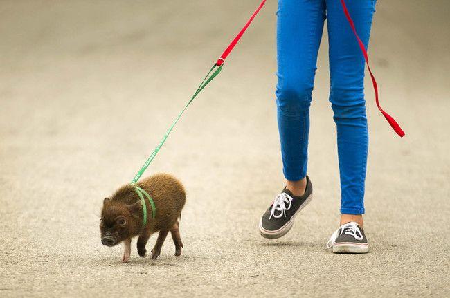 Cerdito pequeño paseando... tierno!!