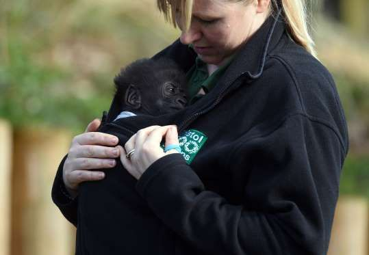 Afia, a baby gorilla born by emergency cesarean section, seen for the first time at the Bristol Zoo in England, on March 30.