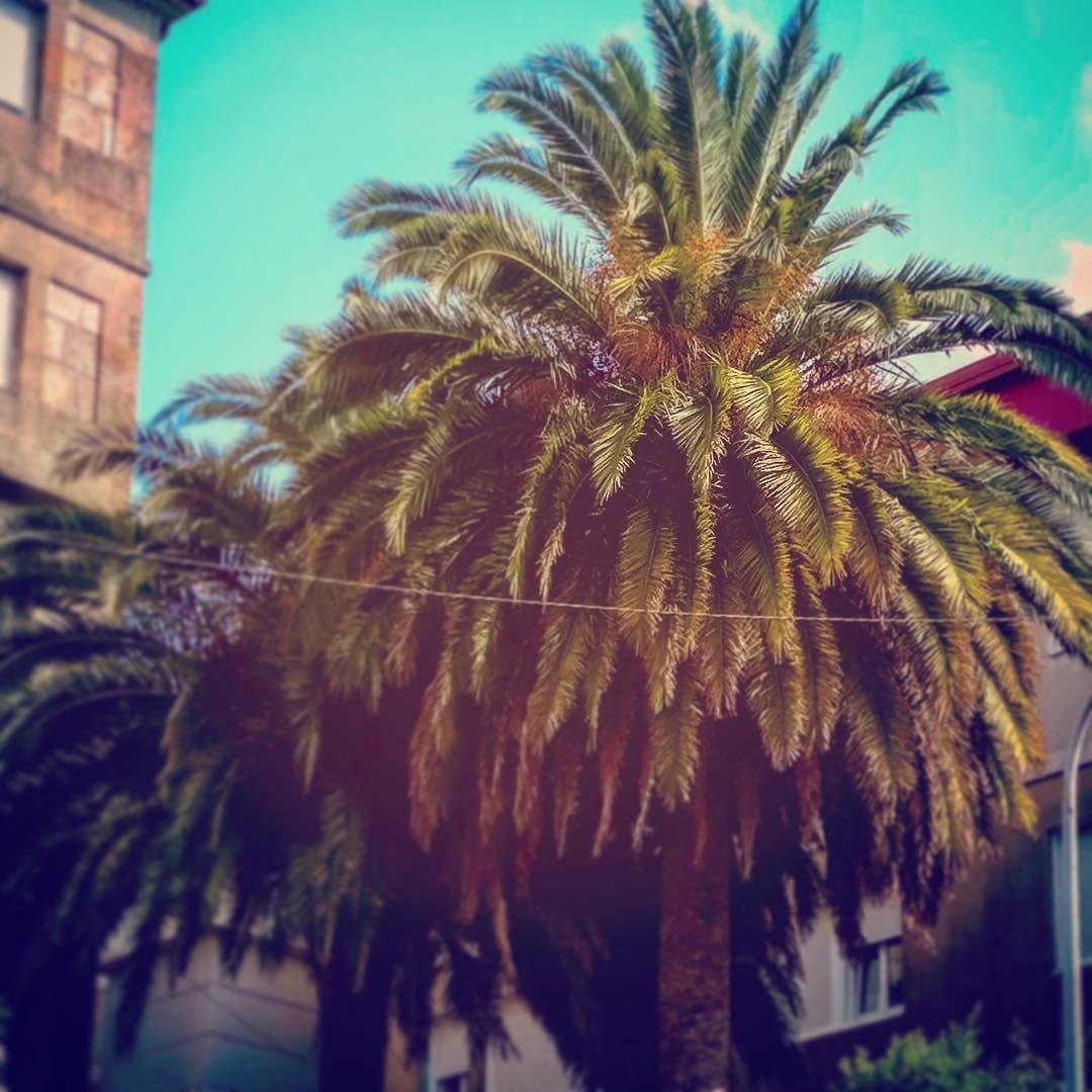 Vegetación urbana... Salvándose (cuánto tiempo?) del picudo... #picudo #palmeras #palmera #vegetación #vegetacion #urbana #vegetacionurbana #vegetaciónurbana #vigo #vigomola #galifornia