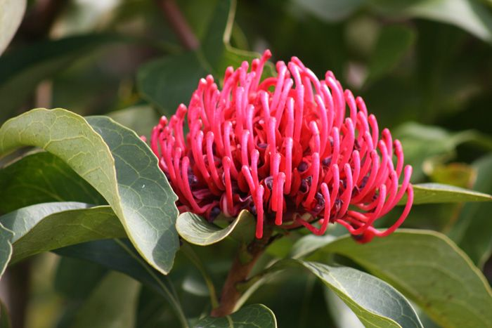 The waratah holds great significance to Phillip Johnson's family; his father presented a waratah to his mother upon her return from a lengthy overseas trip & soon after they were engaged #flora #gardens #green #valentinesday