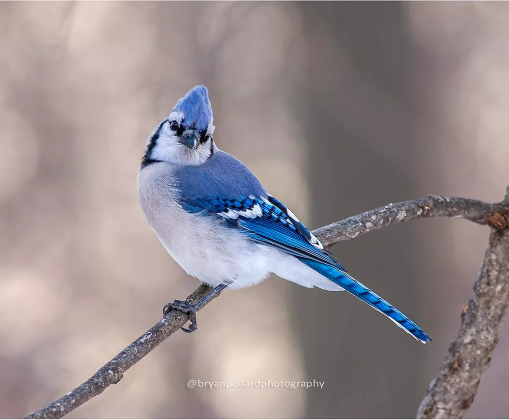 The Beautiful Feathers Of The Common Blue Jay Are Anything But Common Blue Jay Pet Birds Passerine