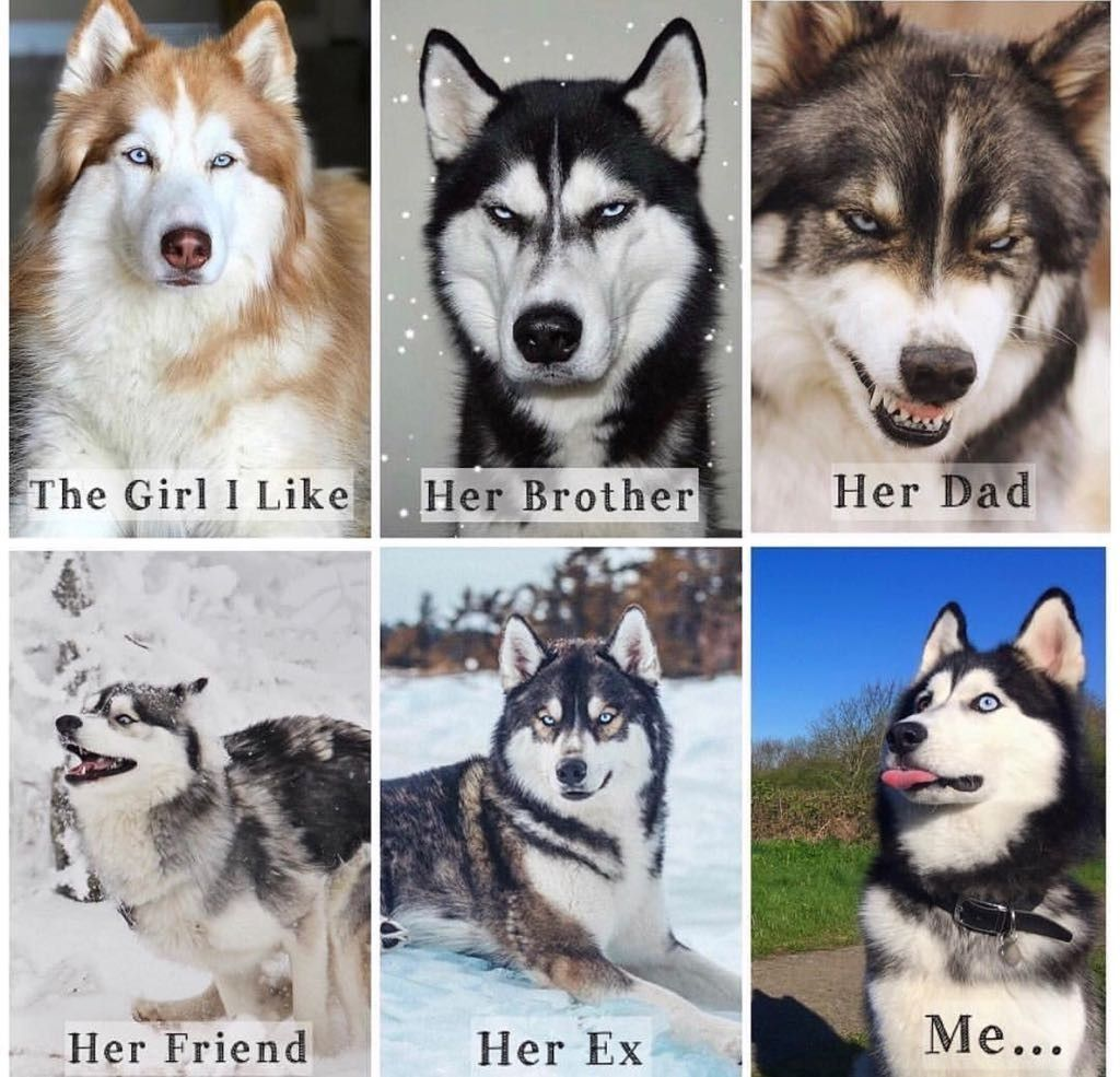 Idea By Linda Smith On Huskies Animal Jokes Funny Animal Jokes