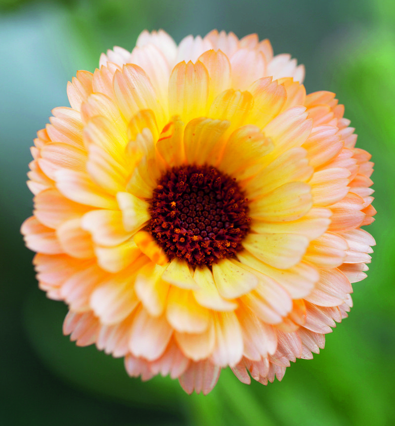 Calendula Officinalis 'Pink Surprise'...attract a wide