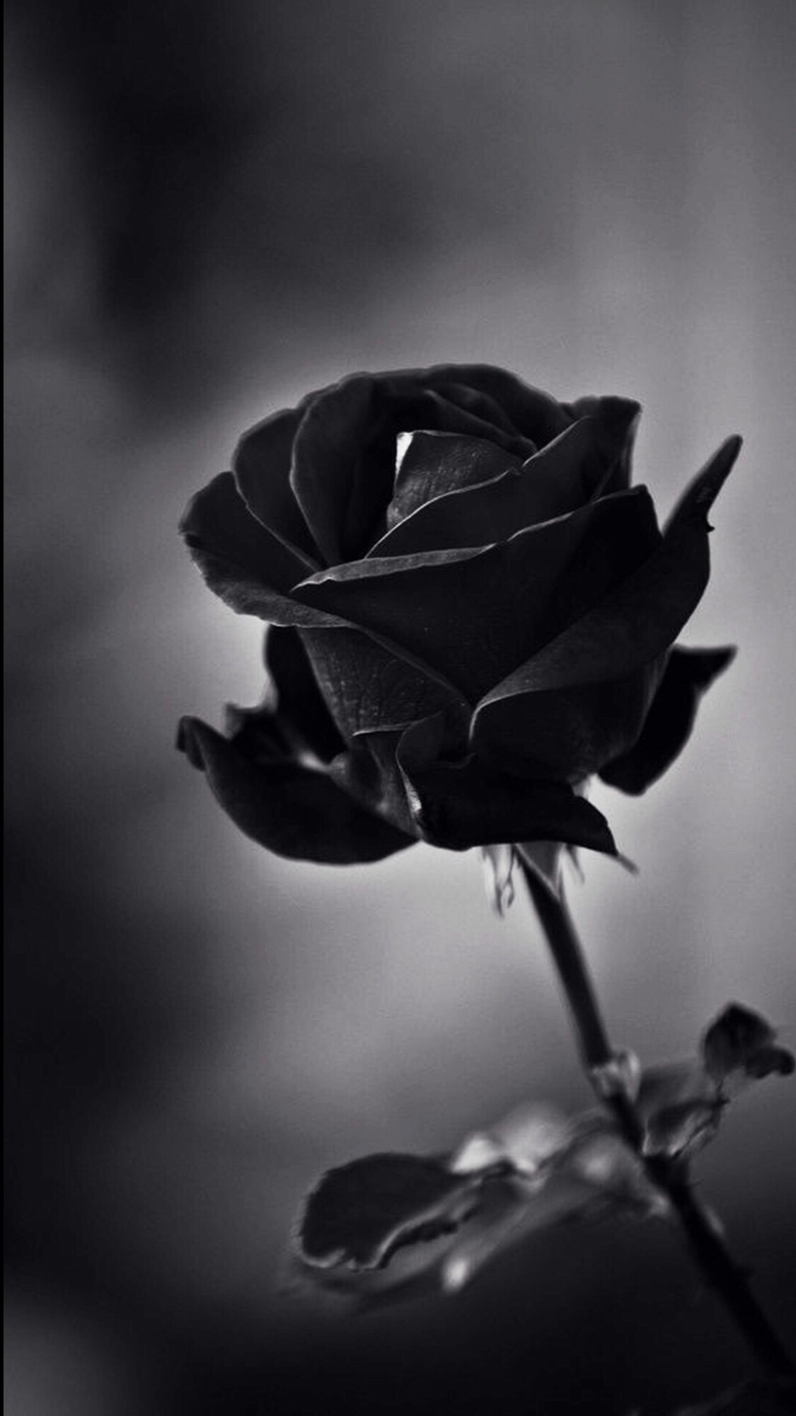 Pin By Laci On Wallpapers Black Roses Wallpaper Black Rose