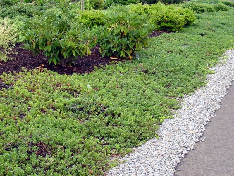bearberry groundcover