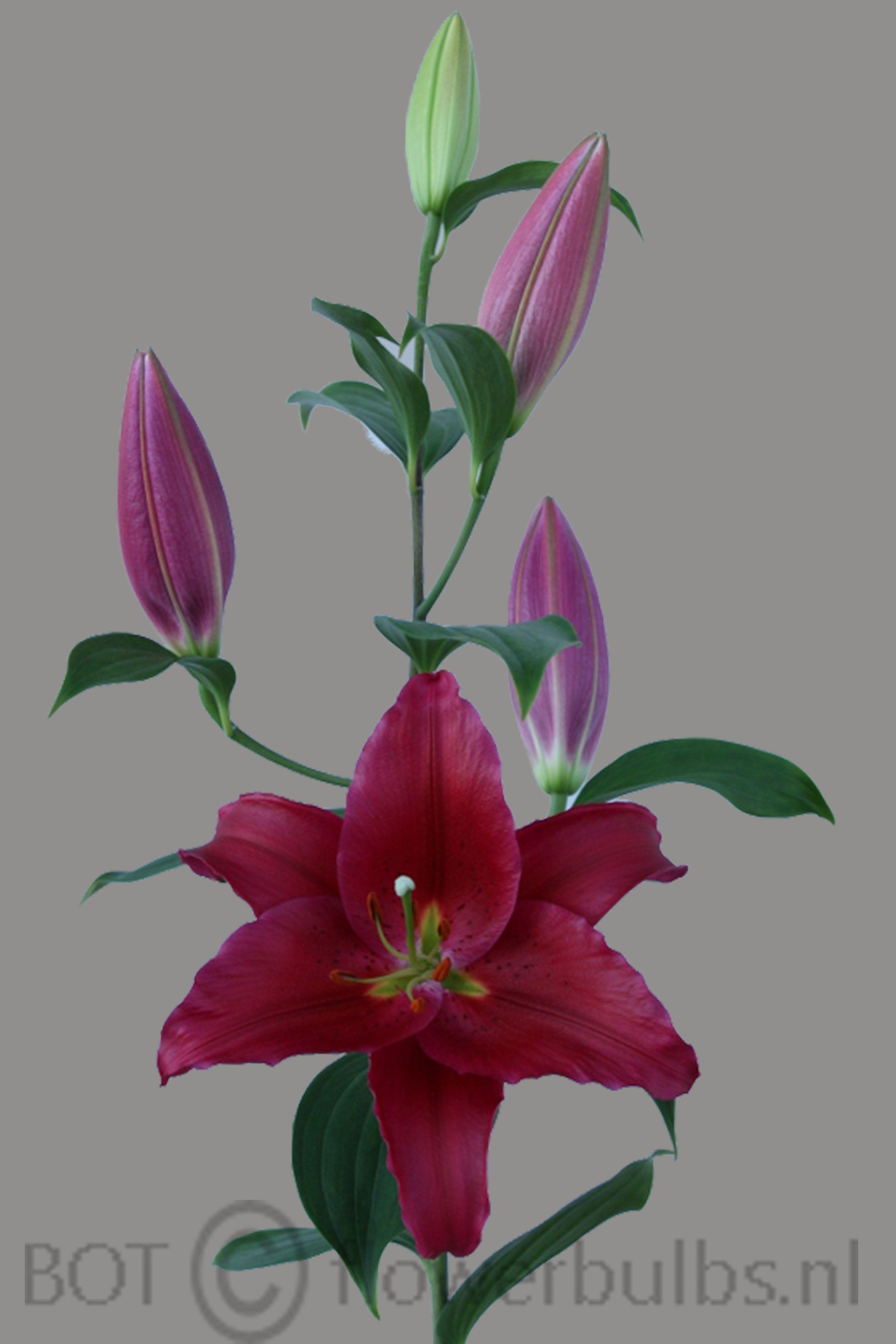 Name: Arabian Red #bot #flowerbulbs #lilium #flower #bulbs #bulbos #bulbosas #lirio #lirios #variedades #bubos #holanda #bloembollen #bloemen #bollen #bulbs #exporter #exporteur #floriculture #flowers #gladioli #gladiool #horticulture #iris #lelie #lily #preparation #prepareren #irissen #Andijk #collection #keurmerk #oriental #asiatic #la #ot #holland