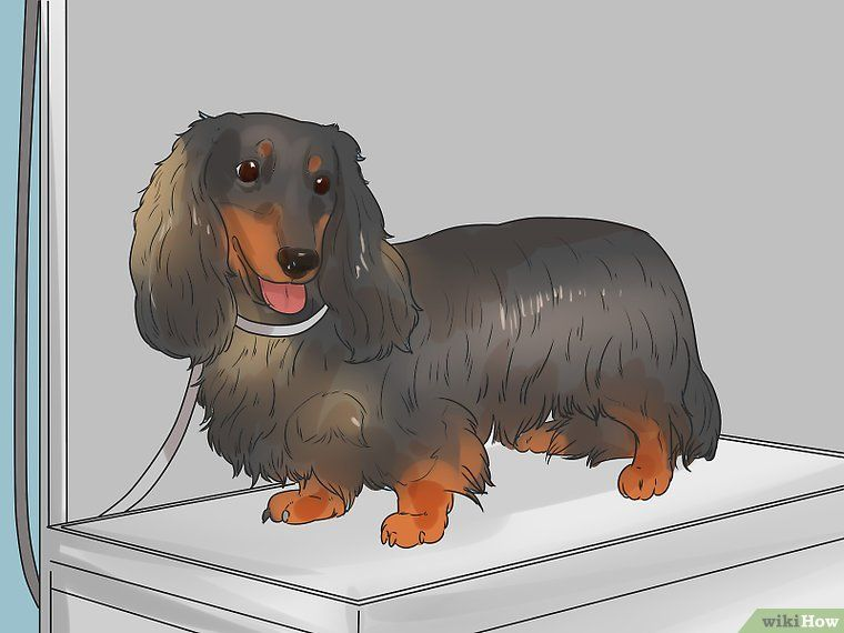 Groom A Longhair Dachshund Long Haired Dachshund Dachshund