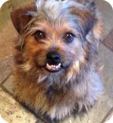 Dallas Tx Cairn Terrier Shih Tzu Mix Meet Sunshine A Dog For
