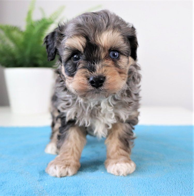 Available puppies for sale crockett doodles puppies