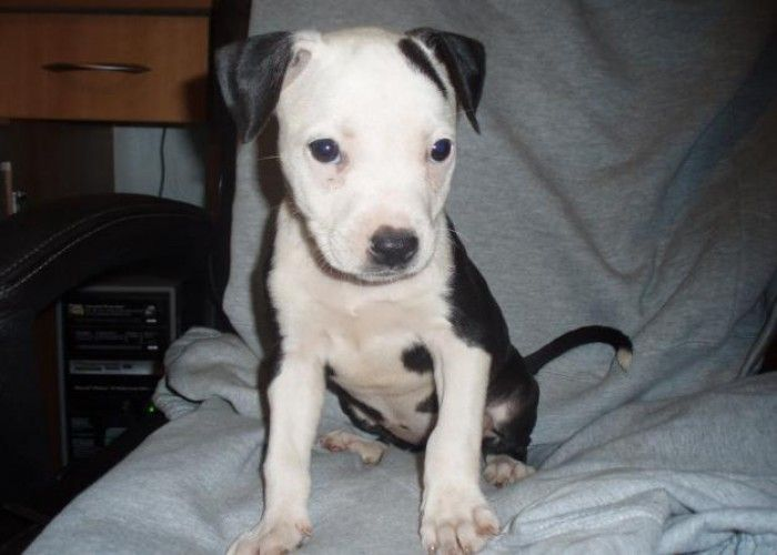 Free Blue Pitbull Puppies | SEAL POINT BLUE AMERICAN PITBULL PUPPIES