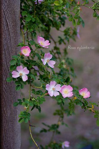 Rosa Eglanteria 美しい花 バラ 花