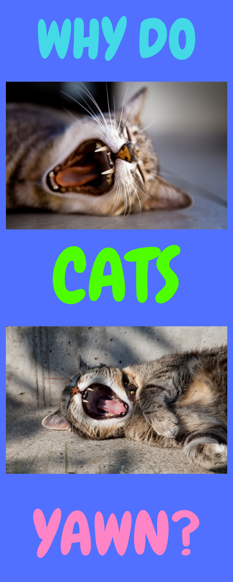 13 Cats Yawning Why Do Cats Yawn So Much? Cat