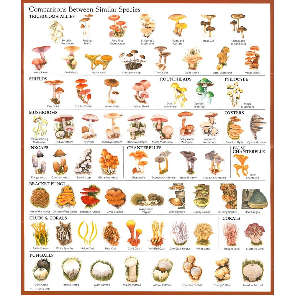 hight resolution of magic mushroom identification chart