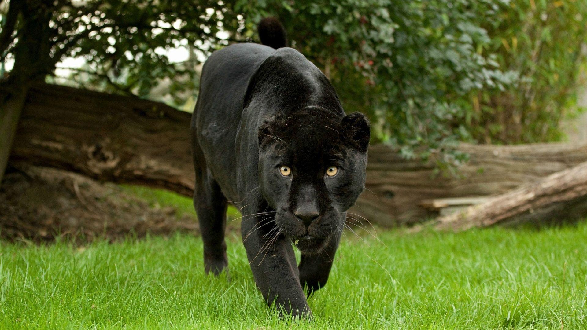 pinjason aronsson on gbwallpapers | pinterest | black jaguar