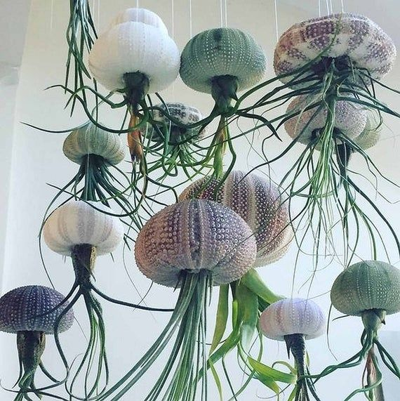 Air Purifying Hanging air plant floating jellyfish sea | Etsy in 2021 | Sea  urchin shell, Air plants, Hanging air plants