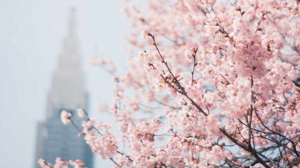 Cherry Blossom Spring Desktop Wallpaper Photography Wallpaper Tumblr Photography