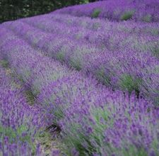 Types of Lavender Plants for the Southeast USA