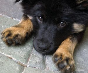 Learn About The German Shepherd Border Collie Mix With Images Shepherd Puppies Collie Puppies German Shepherd Puppies