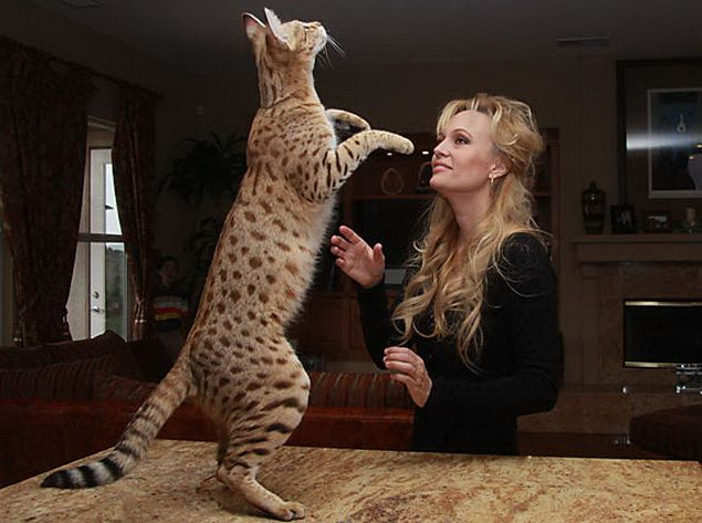 Ashera Cats They Cost Thousands Of Dollars But You Can Walk Them On A Leash Savannah Cat Savannah Chat Ashera Cat