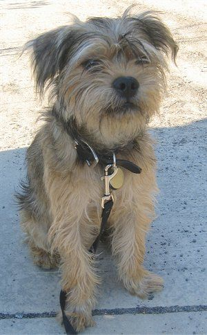 The Yorkshire Terrier Club Of Ethical Hobby Breeders Was Formed To