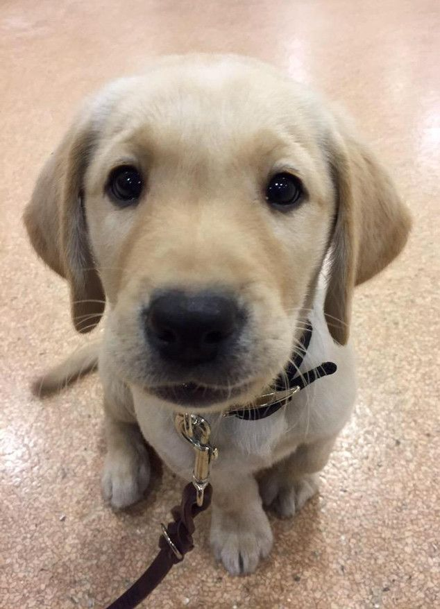 Meet Today S Puppy A Guide Dog In Training Lab Puppies Labrador Retriever Labrador