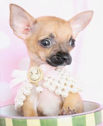 gorgeous chihuahua in a tea cup