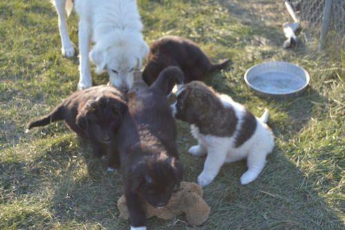 Newfoundland Great Pyrenees Cross Puppies Baldwin Nd Great