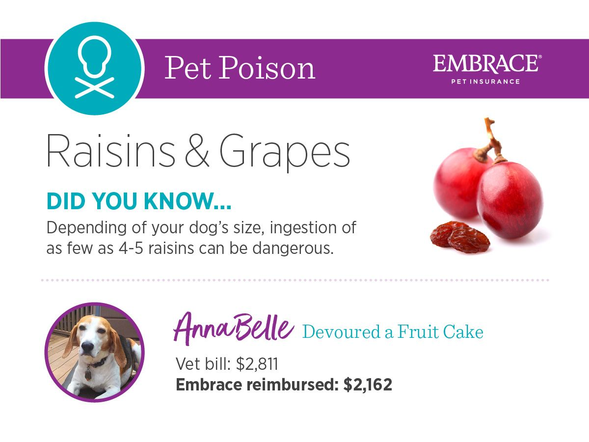 Annabelle Was Home Alone And The Raisin Fruit Cake On The Table Looked Irresistible Beagle Raisonintoxication Petpo Raisin Pet Poison Prevention Pet Poison
