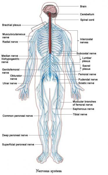 Systems Of The Body The Excretory Systems Removes Waste From The
