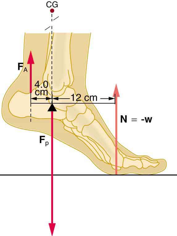 To Calculate How Much Force On Ankle Joint Ankle Joint
