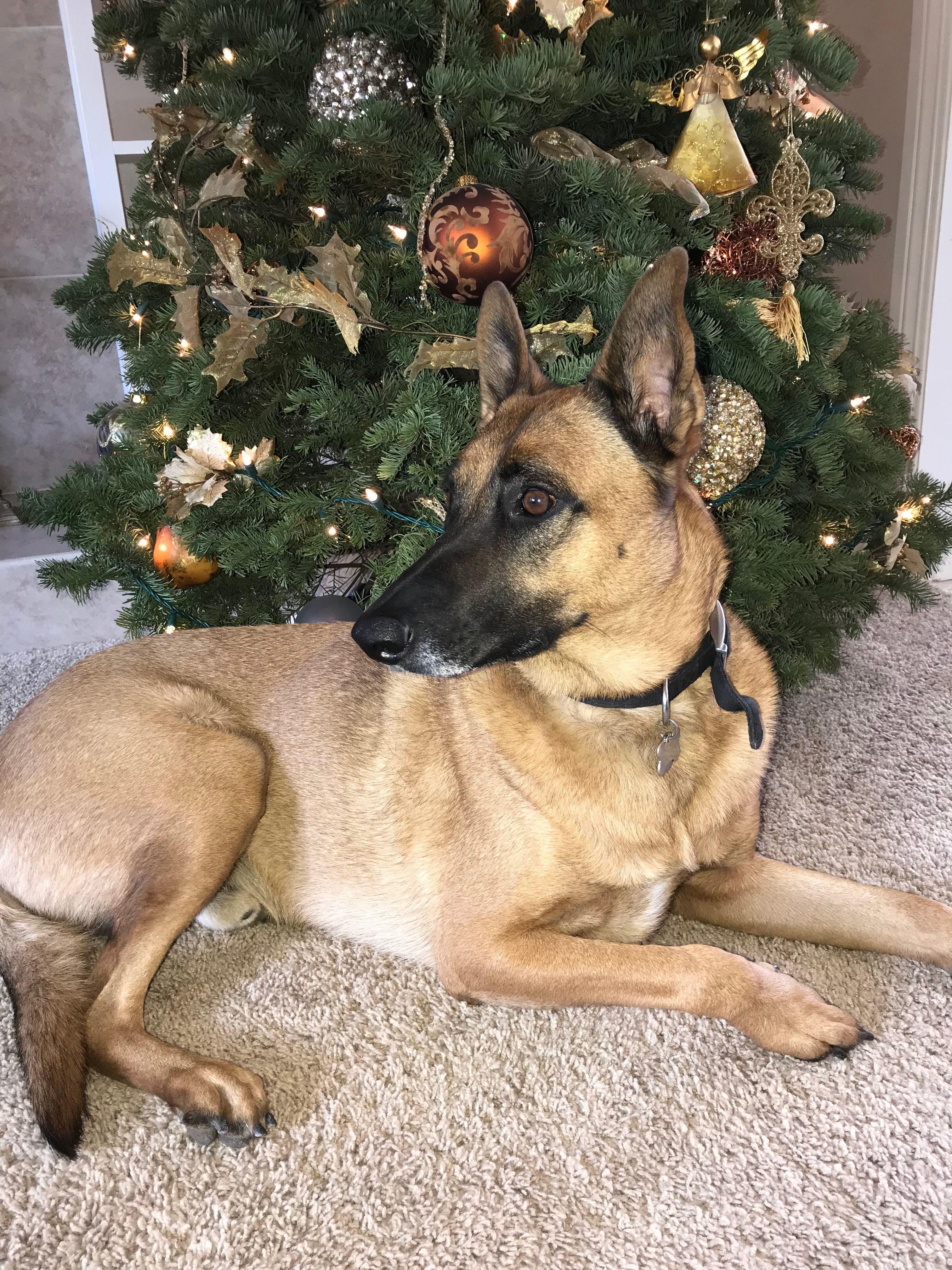 Rex 2017 Christmas Belgian Malinois Dog Belgian Malinois Malinois Dog