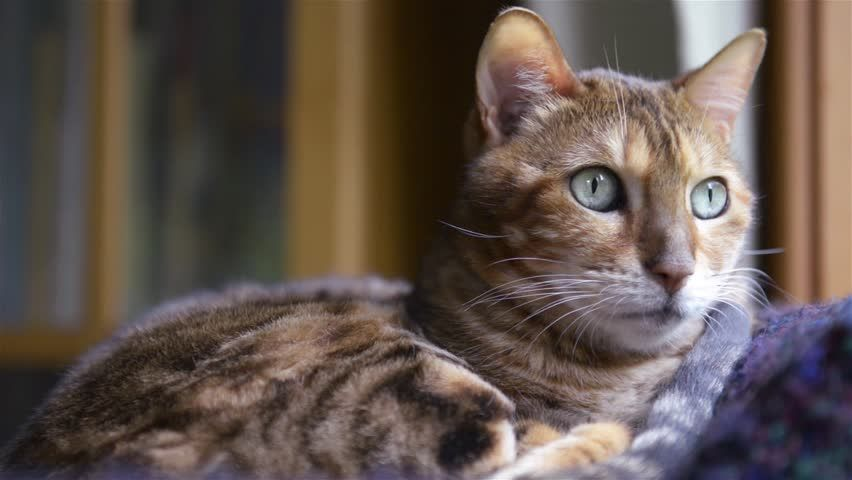 Pin On Maine Coon And Bangal Cats