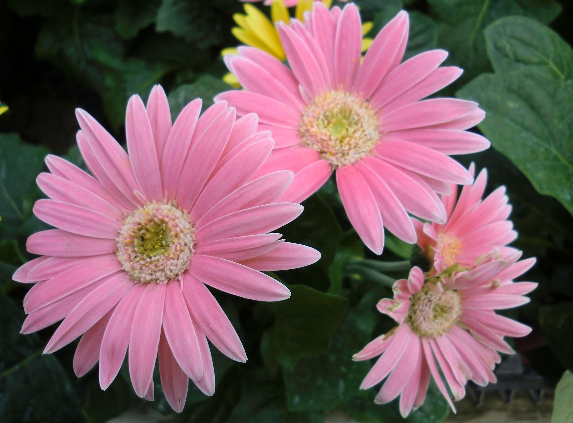 Pink gerbera daisy flores daisies pinterest gerbera flowers gerbera daisy is known for its bright vivid colors and large daisy like flowers that grow on bare stems inches tall it is hardy in zo izmirmasajfo Image collections