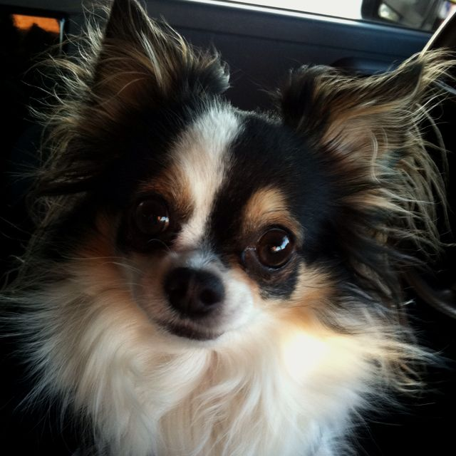 Cute Long Haired Chihuahua My Lola Girl Chihuahua Lover Cute