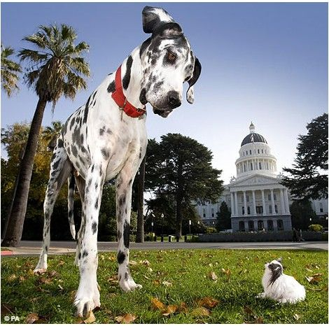 It S A Dog S Life As The World S Tallest Pooch Meets The Smallest