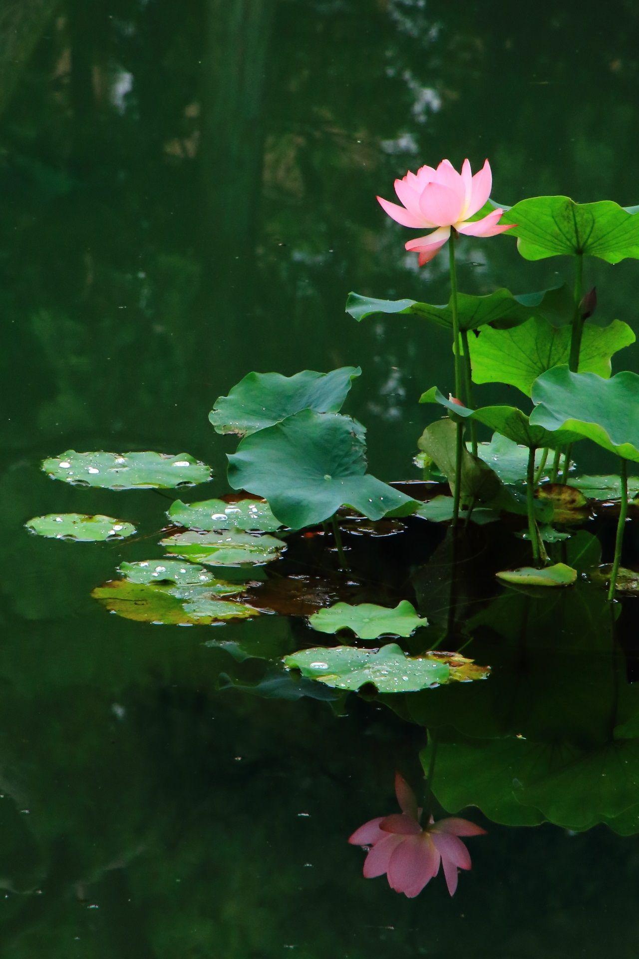 Kyoto おしゃれまとめの人気アイデア Pinterest 京都もよう Kyoto Moyou 蓮の花 美しい花 睡蓮 花