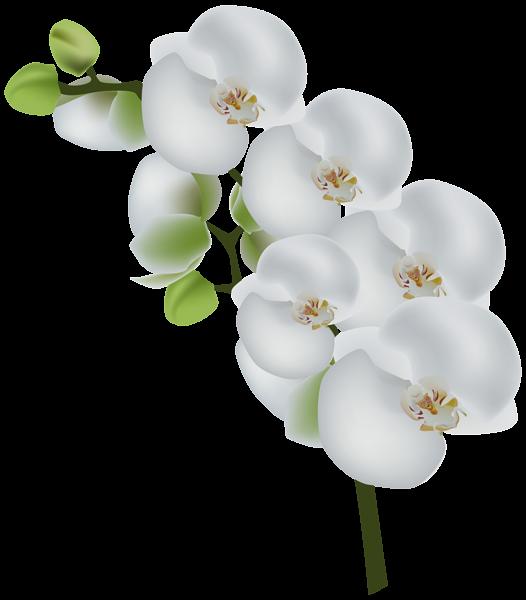 White Orchid Transparent Clip Art Image