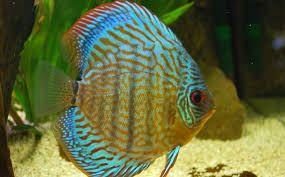 Картинки по запросу красочные рыбки фото | Рыба дискус ...