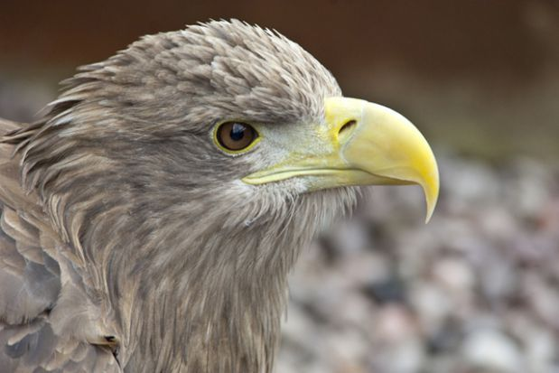 Don T Call Me Extinct 8 Animals That Came Back From The Brink White Tailed Eagle Extinction Animals