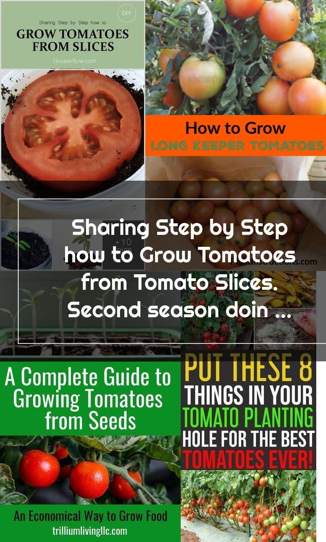 Pin Pada Growing Tomatoes
