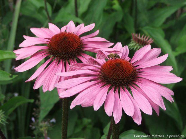 sonnenhut echinacea sonnenhut rosa und gartenpflanzen. Black Bedroom Furniture Sets. Home Design Ideas