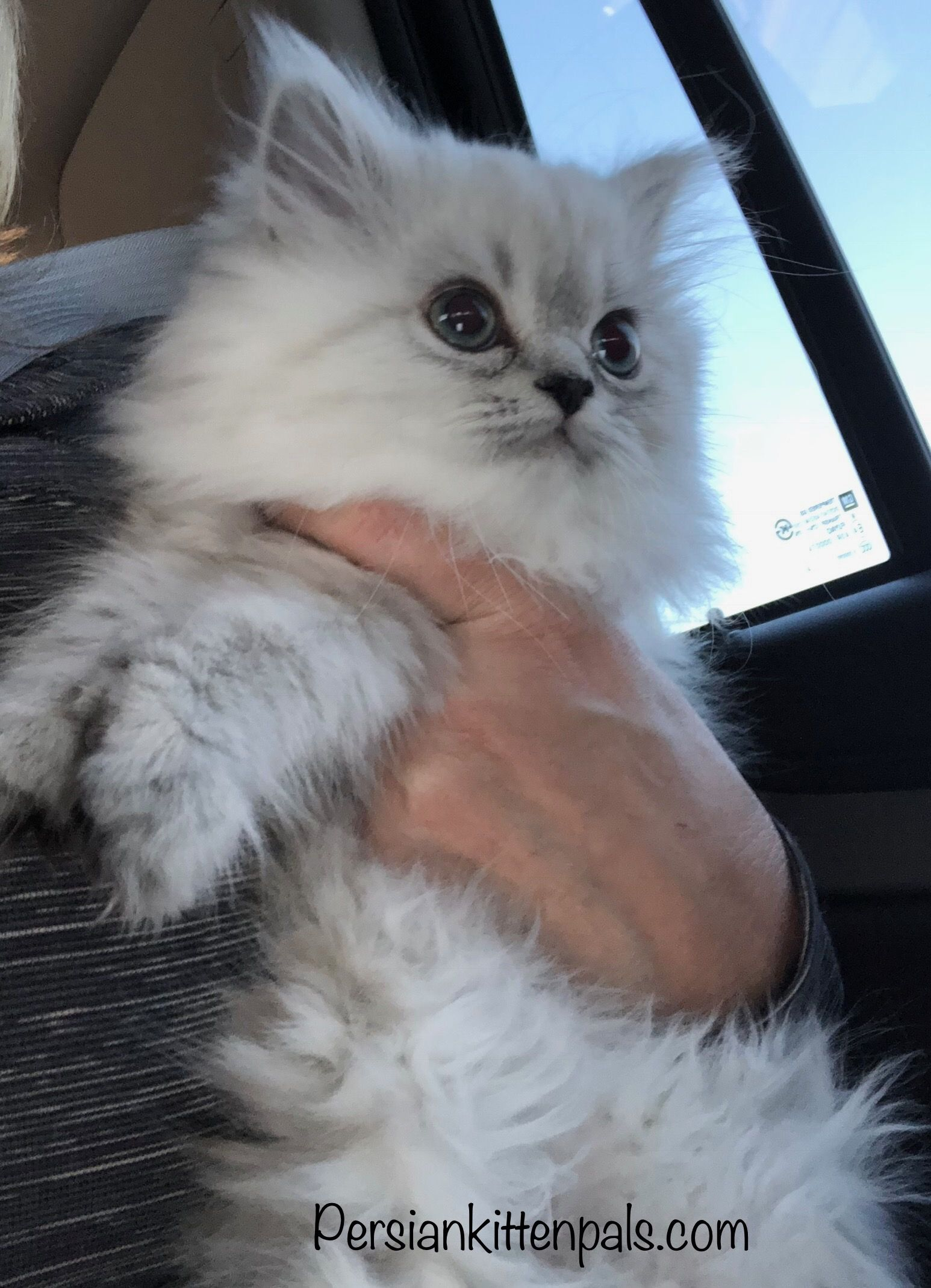 Persiankittenpals Com My Sweet Angel Excited On Her Drive To Her Neiman Marcus Photo Shoot Look For Her Persian Kittens For Sale Persian Kittens Kittens