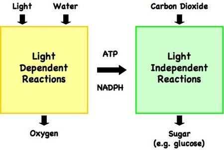 Light dependent reactions flow chart google search biology light dependent reactions flow chart google search biology ccuart Image collections