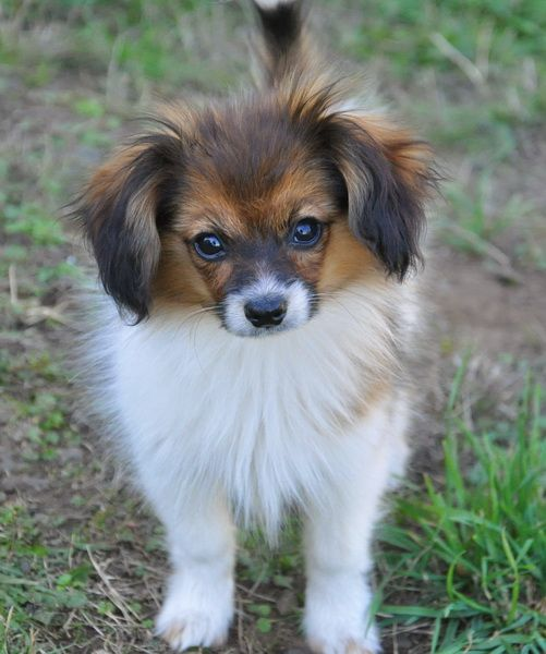 Ch Ba Road S End Strammer Max Papillon Dog Ears Down Papillon Dog Dogs Papillion Puppies