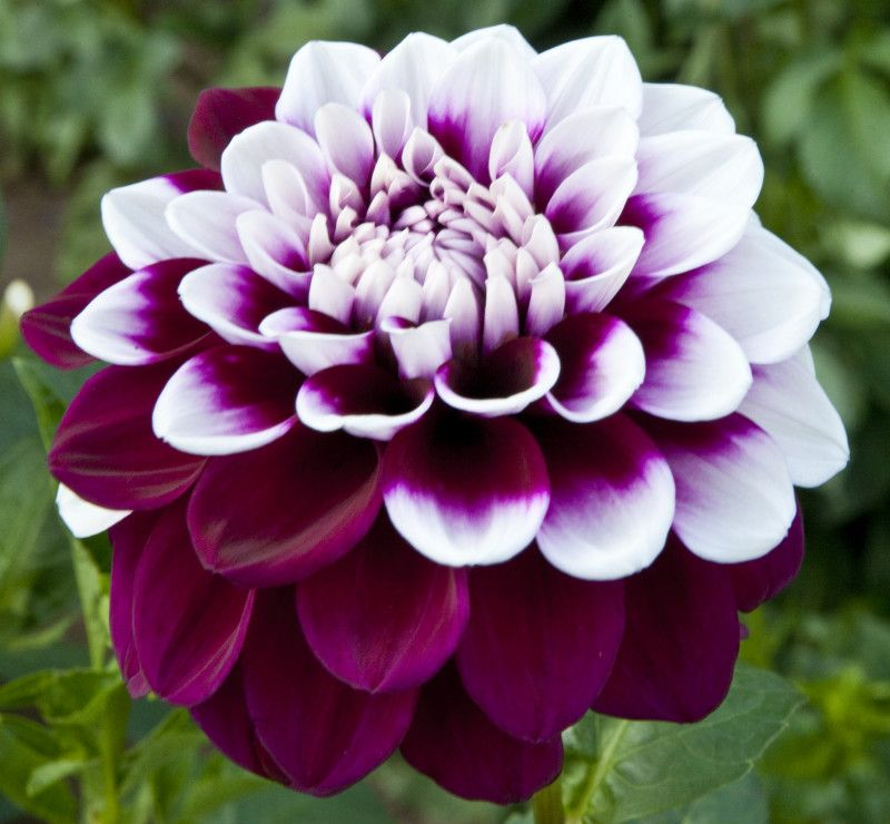 Dahlia Decorative Dahlia Maroon And White Flower Of A Tomo Decorative Dahlia Beautiful Flowers Flower Seeds Unusual Flowers