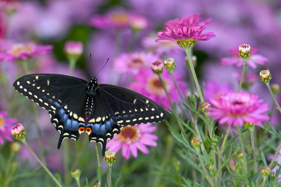Black Swallowtail Butterfly photographed by: Darrell Gulin